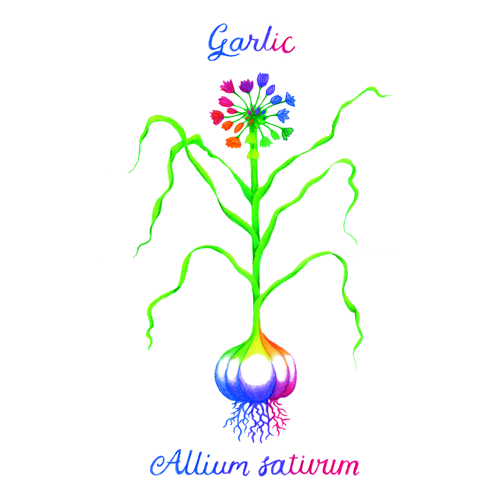 Rainbow Garlic Illustration